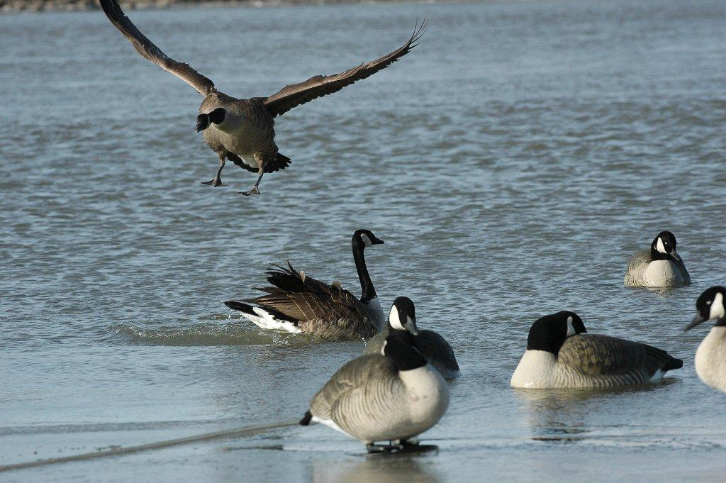 geese landing on a pond